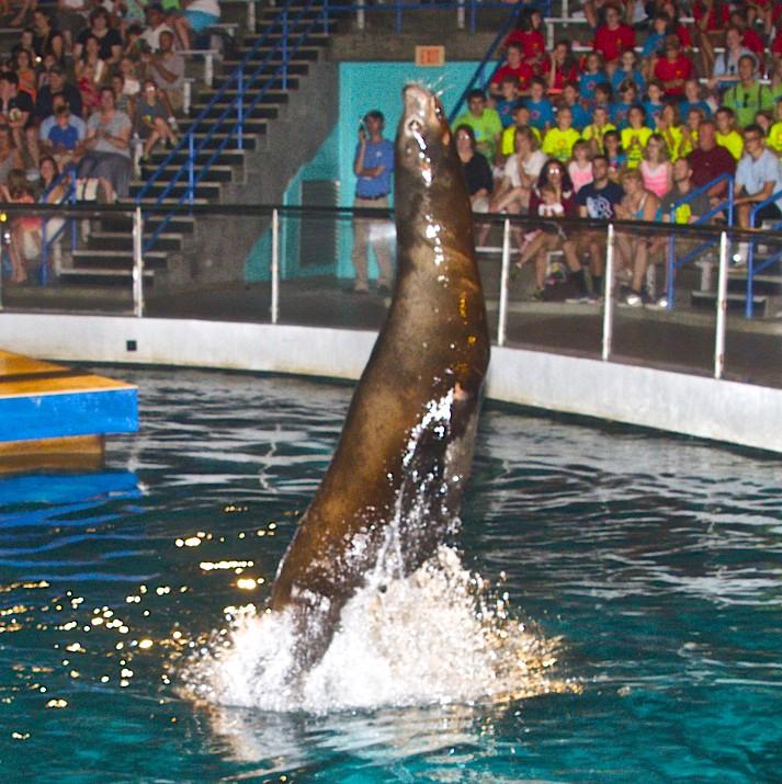 Mystic Aquarium Sea Lion Show Not To Be Missed